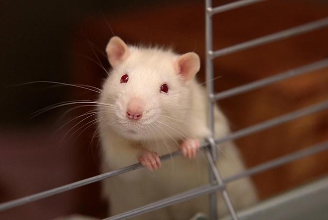 Картинки по запросу Новый год 2020 - год металлической крысы