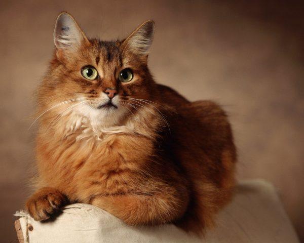 Лисья кошка». Великолепная осанка и грациозность | Пикабу